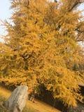 Höstsidorna är gula, sidorna täckas med gräs under träden royaltyfria bilder