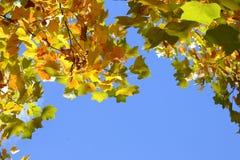 Höstsidorna mot den blåa himlen Arkivbilder