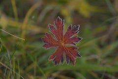 Höstskönheten av frost på sidor arkivfoto
