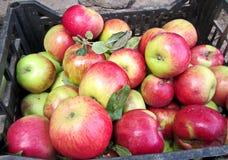 Höstskörd av frukter, äpplen, nu-ts som samlas i hinkar, och askar royaltyfria bilder