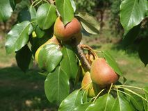 Höstskörd av päron Arkivbild