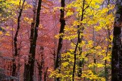 Höstskog i Pyrenees Valle de Ordesa Huesca Spanien Arkivfoton