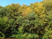 Höstskog, träd med gul lövverk Royaltyfri Bild