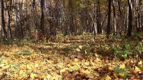 Höstskogbakgrund på en solig dag stock video