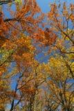 höstskogen ser upp Royaltyfri Bild