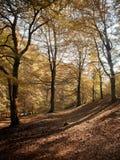 Höstskogsmark en bokträdskog med guld- sidor royaltyfria bilder