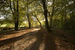 Höstskogsmarken med långa skuggor på Golitha faller Cornwall, UK Arkivbilder