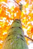 Höstskogträd från botten gröna wood solljusbakgrunder för natur, mjuk fokus! grunt djup av fältet Arkivfoto