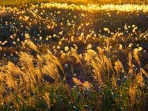 Höstsolnedgång med silvergräskonturn Arkivfoto