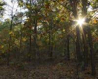 Höstsolsignalljus i skog Royaltyfri Bild