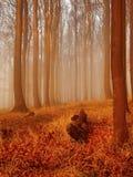Höstsoluppgången i bokträdskog. Dimma mellan nakna bokträdträd utan sidor. Fotografering för Bildbyråer