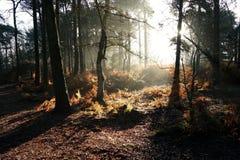 Höstsulight i skogsmark Royaltyfri Bild