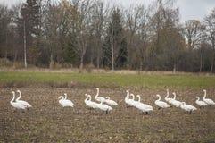 Hösttid i Lettland med closeupen av whoopersvanar för flyttning arkivfoto