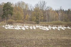Hösttid i Lettland med folkmassan av whoopersvanar för flyttning arkivfoton