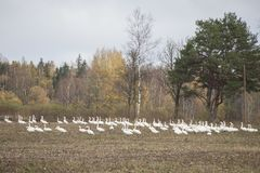 Hösttid i Lettland med lotten av whoopersvanar för flyttning arkivfoton
