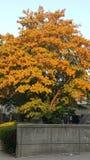 Höstträd i blomapelsin royaltyfria foton