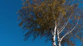 Höstträd med att gulna sidor mot himlen arkivfilmer