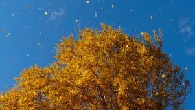 Höstträd med att gulna sidor mot himlen stock video