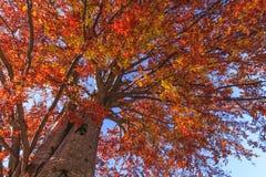 Höstträd på en bakgrund av himmel Arkivfoto