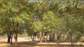 Höstträd på parkera i gamla Bagan, Myanmar lager videofilmer