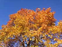 Höstträdkrona i gula och röda färger mot en ljus blå himmel arkivfoto