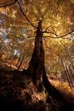 Hösttree Royaltyfria Foton