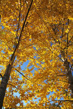 Hösttrees Fotografering för Bildbyråer