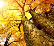 HöstTrees Royaltyfri Bild