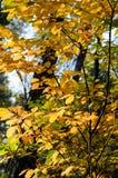Hösttrees i skog Royaltyfri Bild