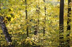 Hösttrees i skog Arkivfoton