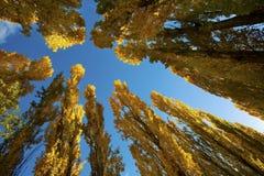 HöstTrees under den blåa skyen Fotografering för Bildbyråer