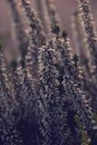 Höstvit och purpurfärgad ljung i morgonsolskenet Royaltyfri Foto