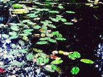 Höstwaterlilys i det svarta vattnet royaltyfria bilder