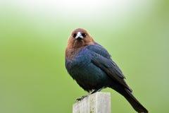 hövdad brun cowbird Arkivfoto
