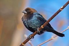 hövdad brun cowbird Fotografering för Bildbyråer