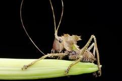 Hövdad katydidnymf för drake som finnas i Malaysia Royaltyfri Bild