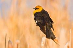hövdad montana för blackbird yellow Arkivbilder