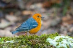 hövdad orange trast Fotografering för Bildbyråer