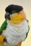 hövdad papegoja för svart caique Arkivbilder