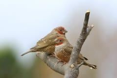 hövdad red för amadinaerythrocephalafinches Royaltyfria Bilder