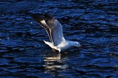hövdad svart fiskmås Royaltyfri Foto