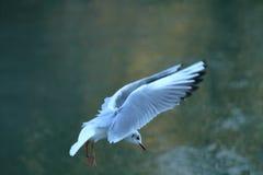 hövdad svart fiskmås Fotografering för Bildbyråer
