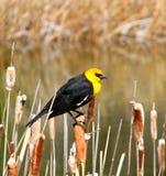 hövdad yellow för blackbird Arkivbild