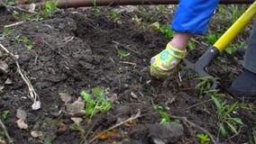 Húmus de escavação da jovem mulher pelo forcado Preparação do solo para plantar Com grama Fim acima Movimento lento 120fps filme