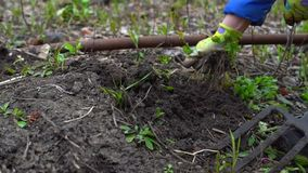 Húmus de escavação da jovem mulher pelo forcado Preparação do solo para plantar Com tubulação de água Fim acima Movimento lento 1 vídeos de arquivo