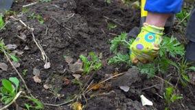 Húmus de escavação da jovem mulher pelo forcado Preparação do solo para plantar No jardim Fim acima Movimento lento 120fps video estoque