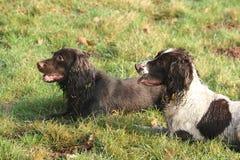 Hübsche Arbeitsart Spanieljagdhunde, die zusammen auf Gras liegen Stockbild