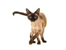 Hübsche Dichtungspunktdevon-rex Katze mit blauen Augen gehend zur Kamera und die Kamera gerade untersuchend Stockfotografie