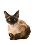 Hübsche Dichtungspunktdevon-rex Katze mit den blauen Augen, die unten liegen, gerade untersuchend die Kamera gesehen vom SID Lizenzfreie Stockfotos