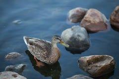 Hübsche Ente im kalten Wasser Lizenzfreies Stockfoto
